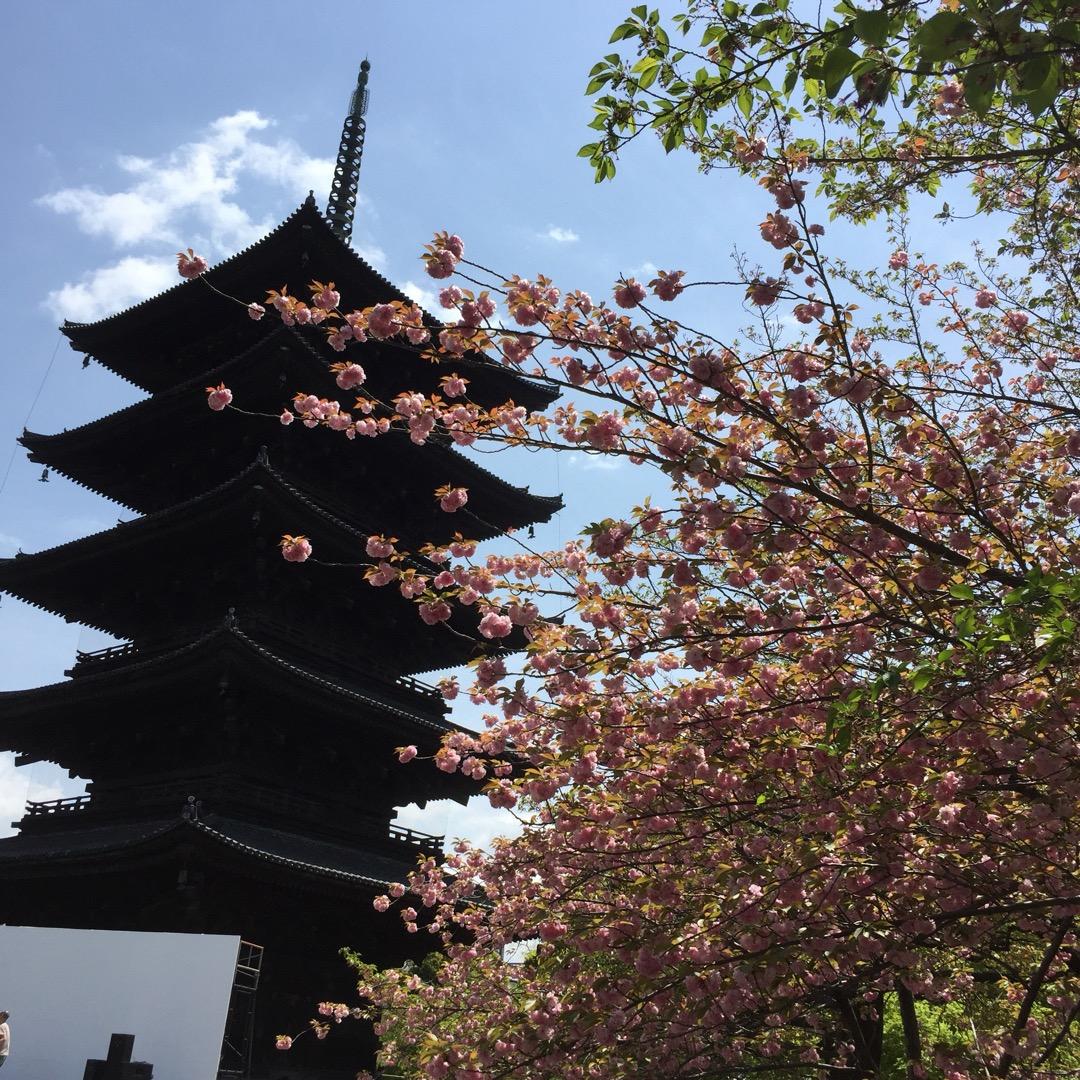春 桜が咲いている頃の東寺です。 お天気も良く、素晴らしかったよ〜