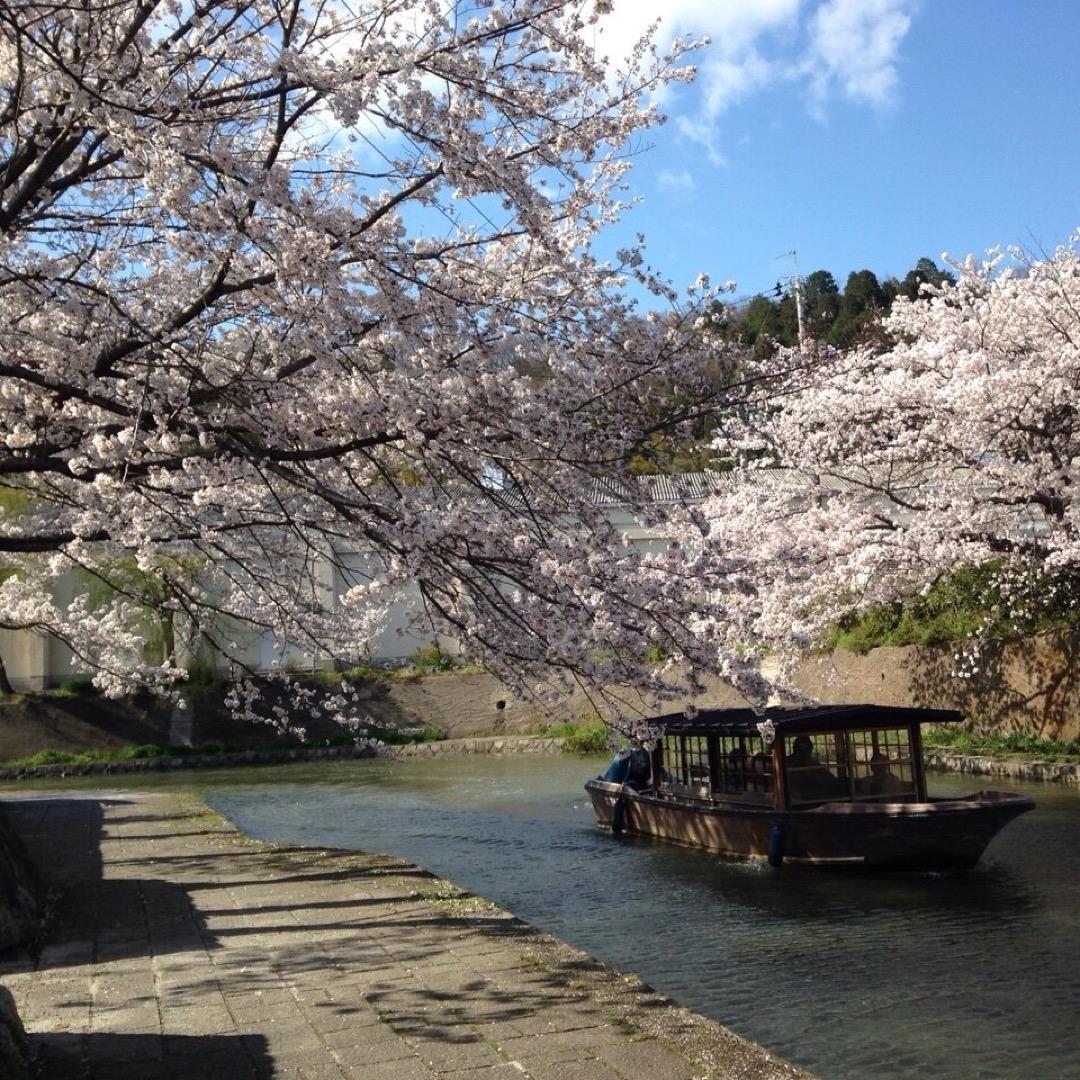 知る人ぞ知る桜の名所🌸  #滋賀 #近江八幡 #桜 #花見