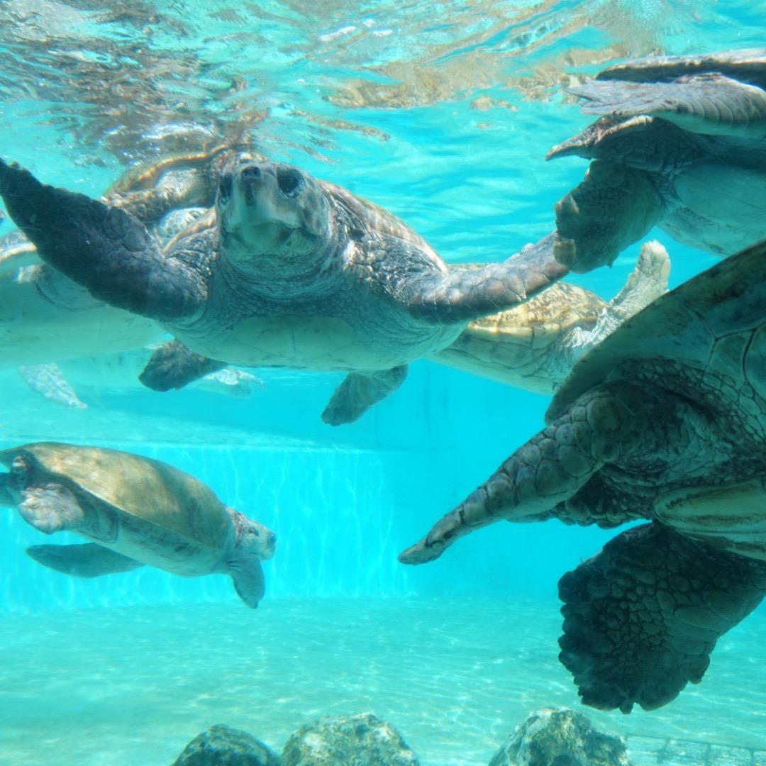 こんなに亀がたくさん泳いでいる水族館は行ったことがないというくらい...
