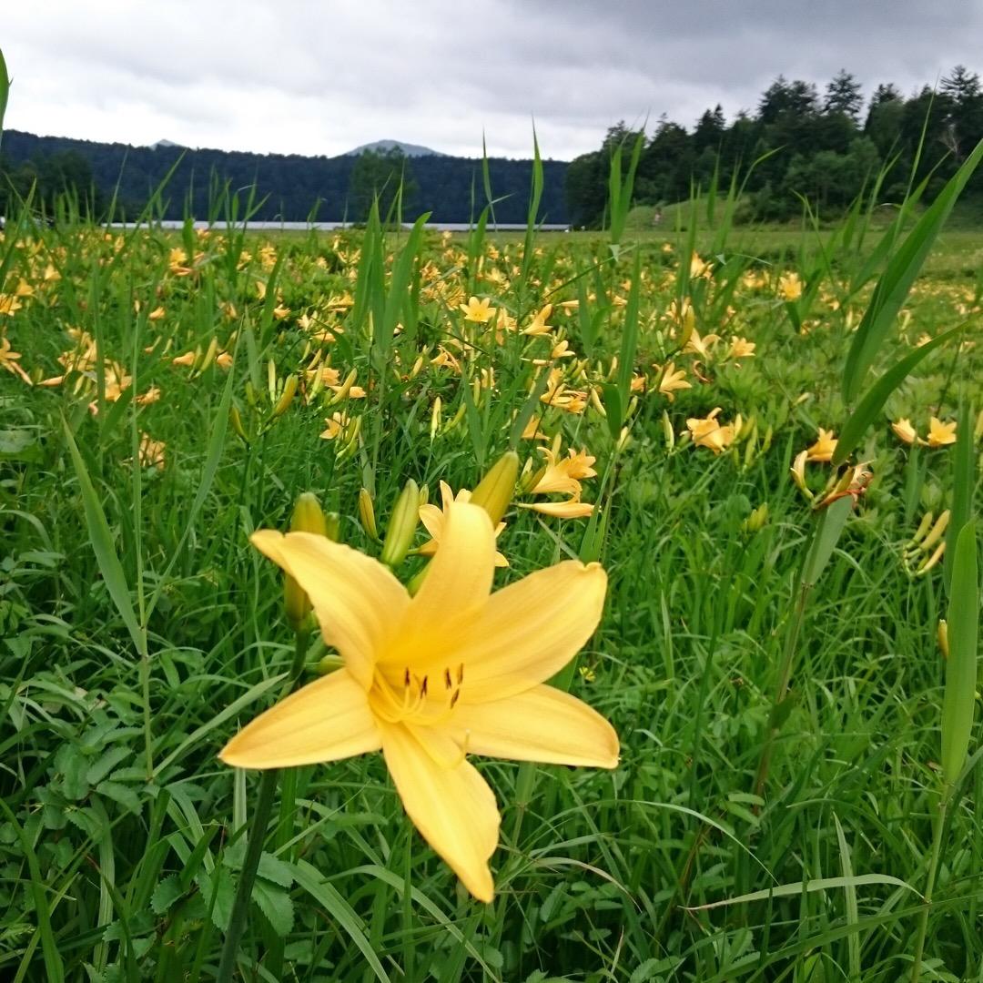 【福島県尾瀬】高山植物を見たい人必見。大江湿原