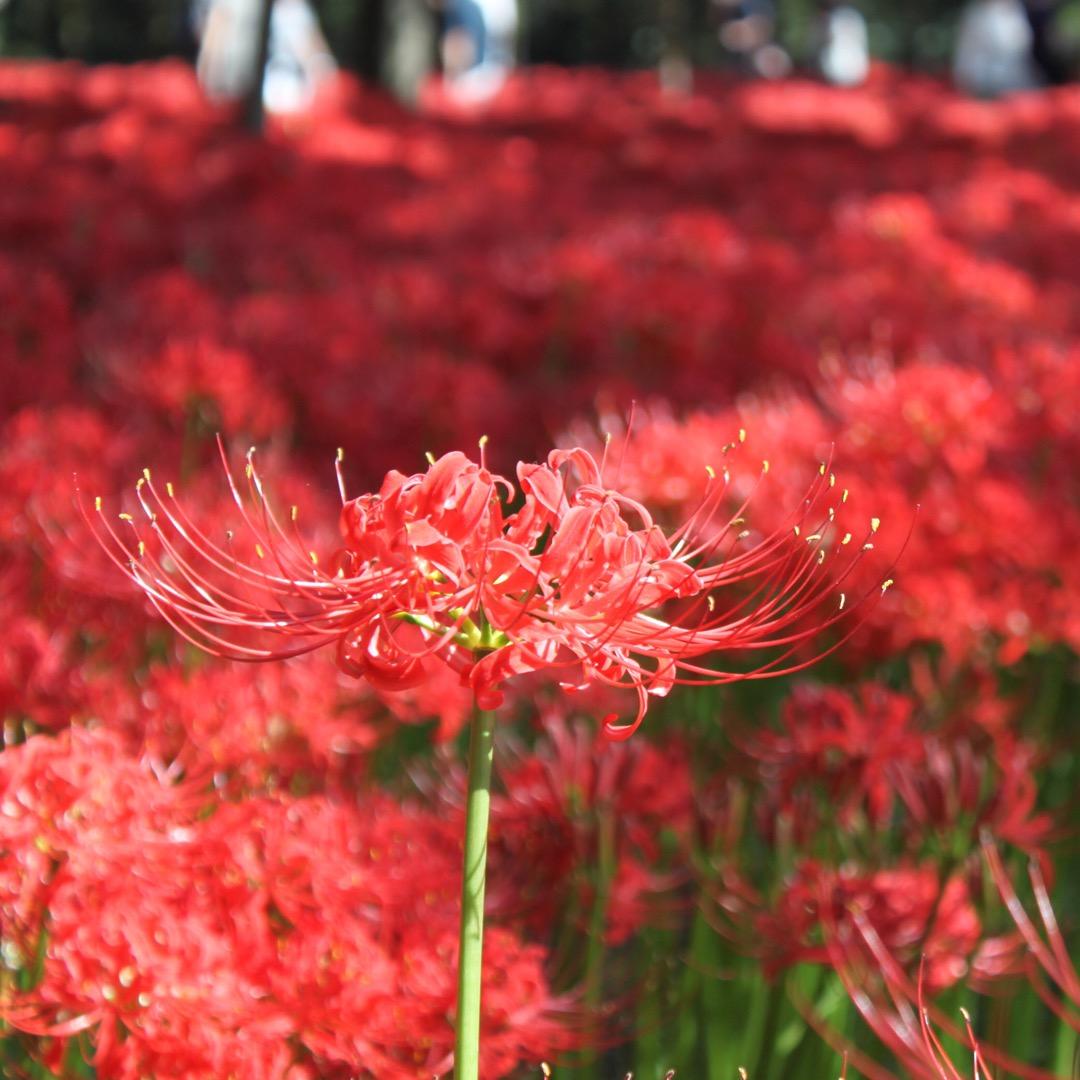 埼玉県幸手市権現堂公園では、秋になると曼珠沙華、一般には彼岸花とい...