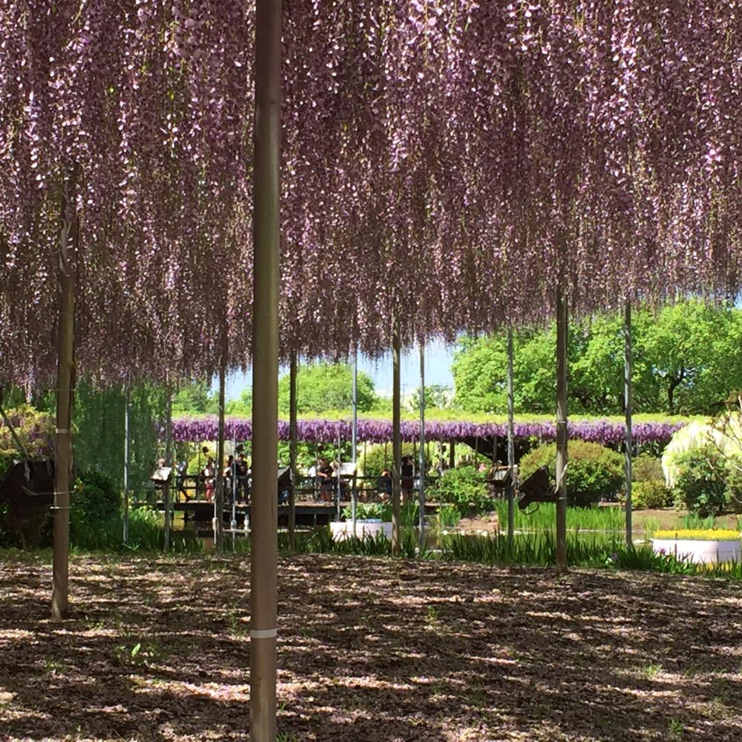 一面藤の花です。紫はもちろん白、珍しい黄色の藤の花もあります。そし...