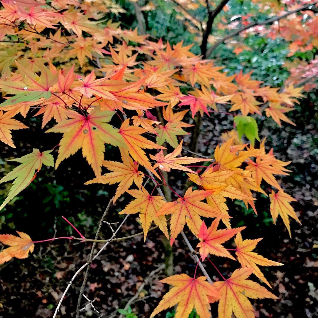 紅葉狩りに行ってきました! お団子とお茶を飲みながら、上品な紅葉を...