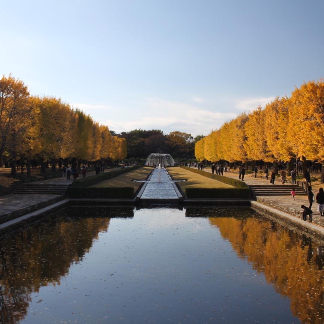 東京都立川市の昭和記念公園に入るとイチョウ並木がつづいてとっても綺...