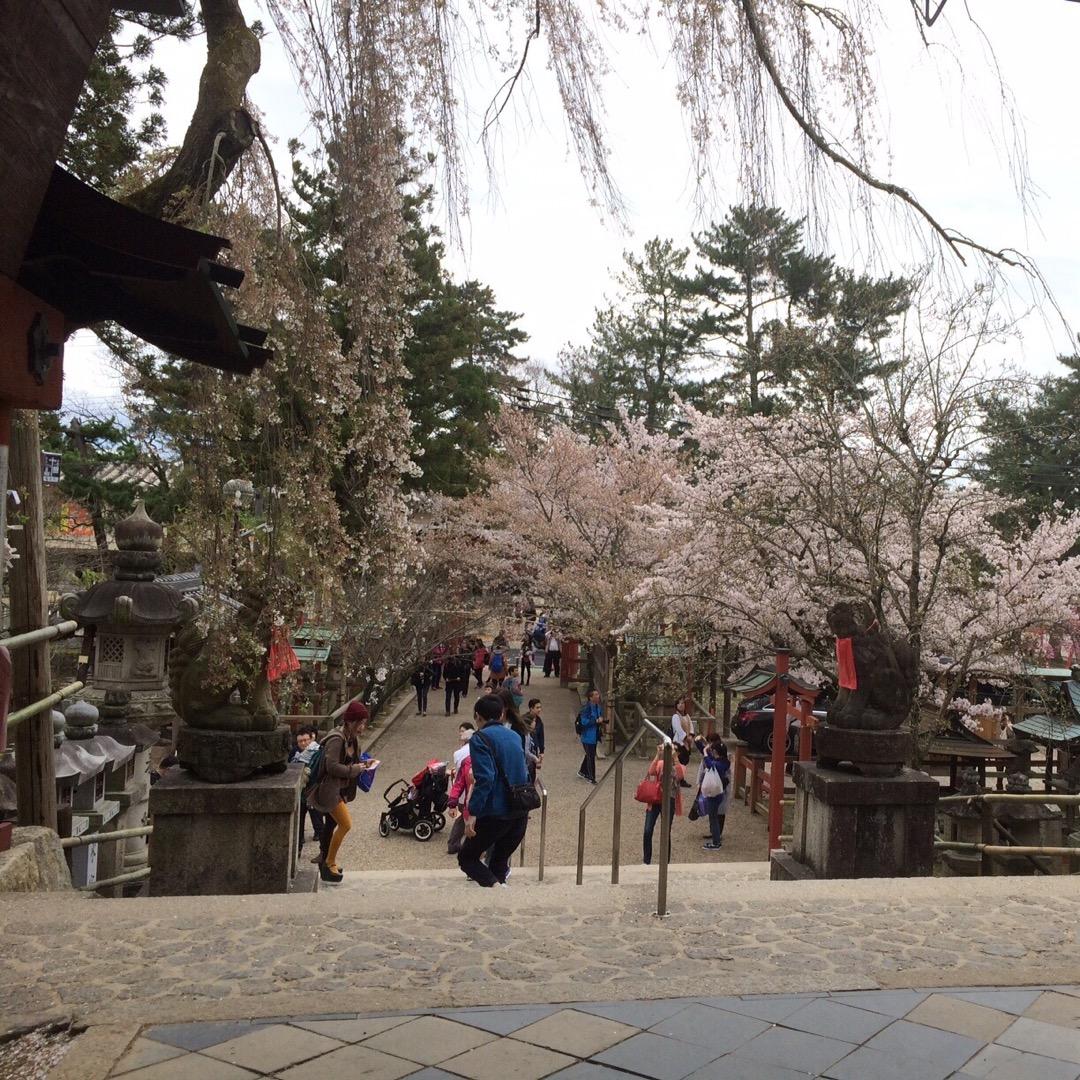 桜の季節に訪れる氷室神社は格別です!  #氷室神社 #桜