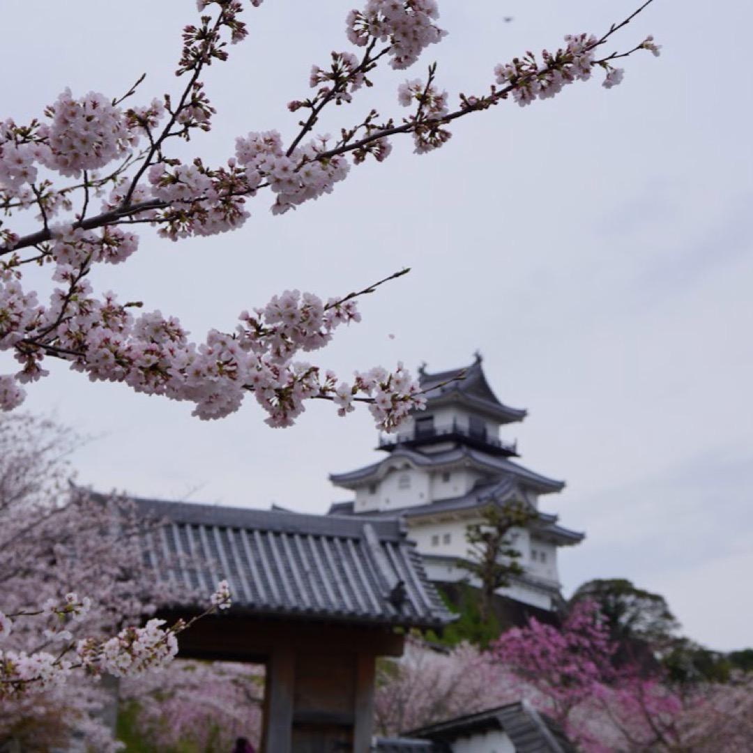 掛川城は桜の名所で!春はことの外きれいです。天守閣にも上れます。 ...