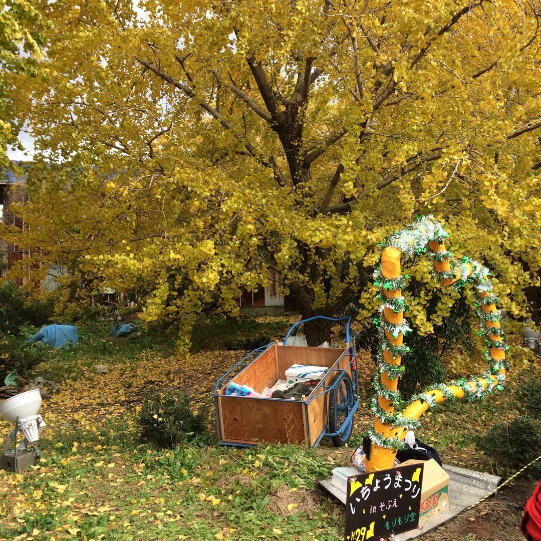 #黄葉まつり 開催中!いちょうの葉が黄色く染まってきれい!  雲出...