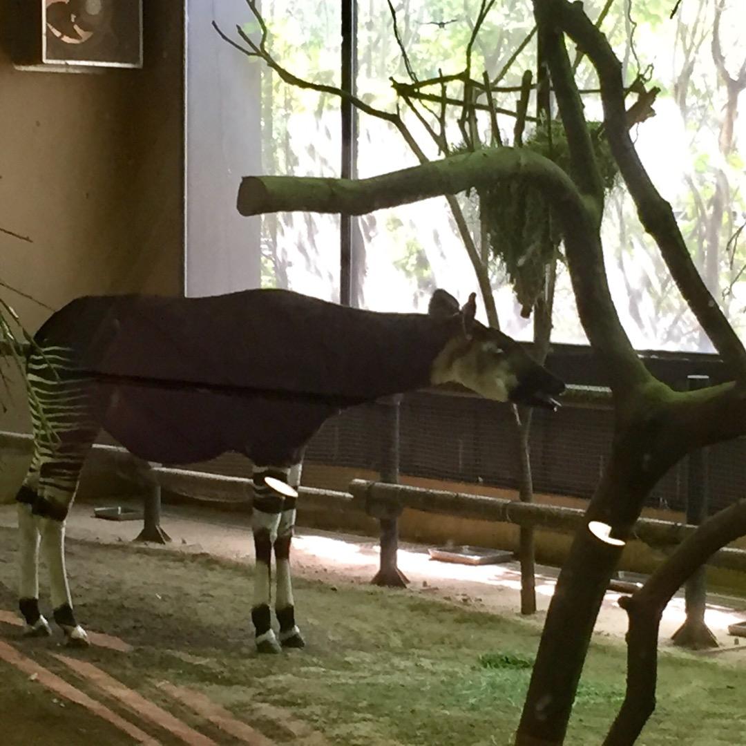 よこはま動物園ズーラシア。日本では、3つの動物園でしかみられない、...