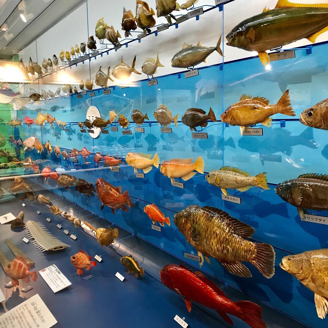 海と暮らしの資料館。魚たち。 鳥取県には目立った水族館がありません...