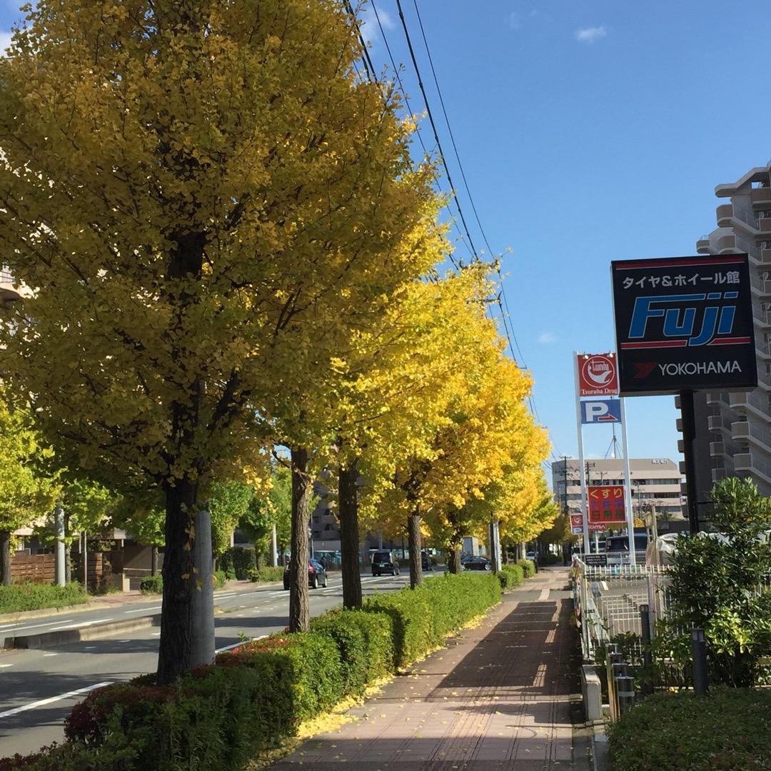 秋らしくイチョウ並木が綺麗に色付いてます。    #仙台市泉区八乙...