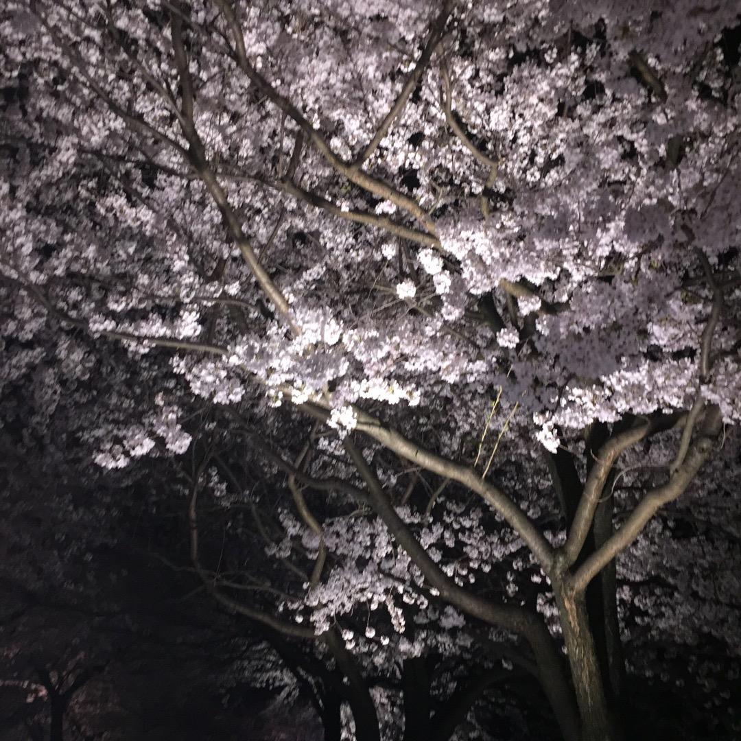 """兼六園の夜桜ライトアップ見てきました!""""花より団子""""の人も訪れれば..."""