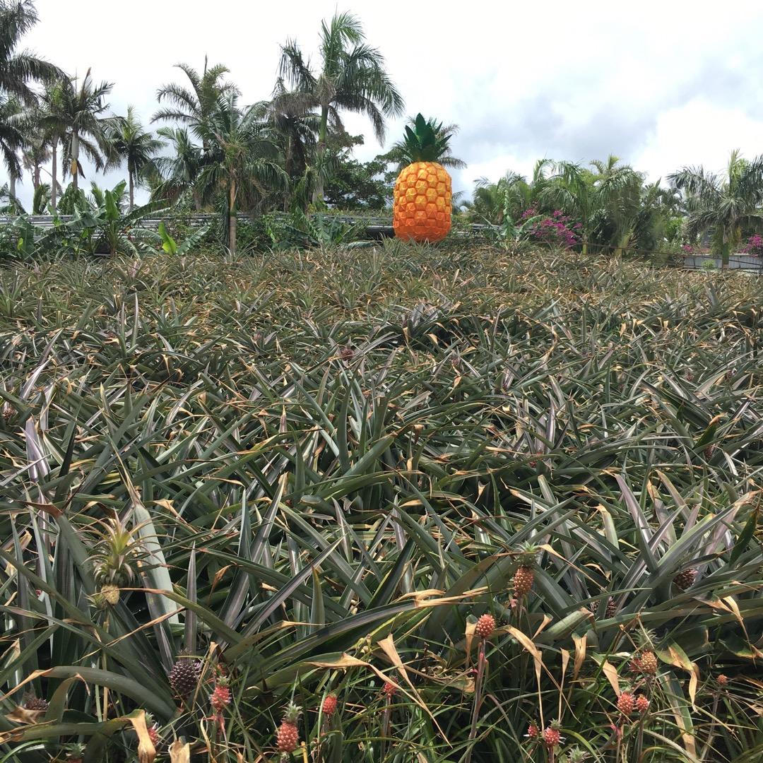 沖縄名護市のパイナップルパーク。パイナップル沢山なってました!パイ...