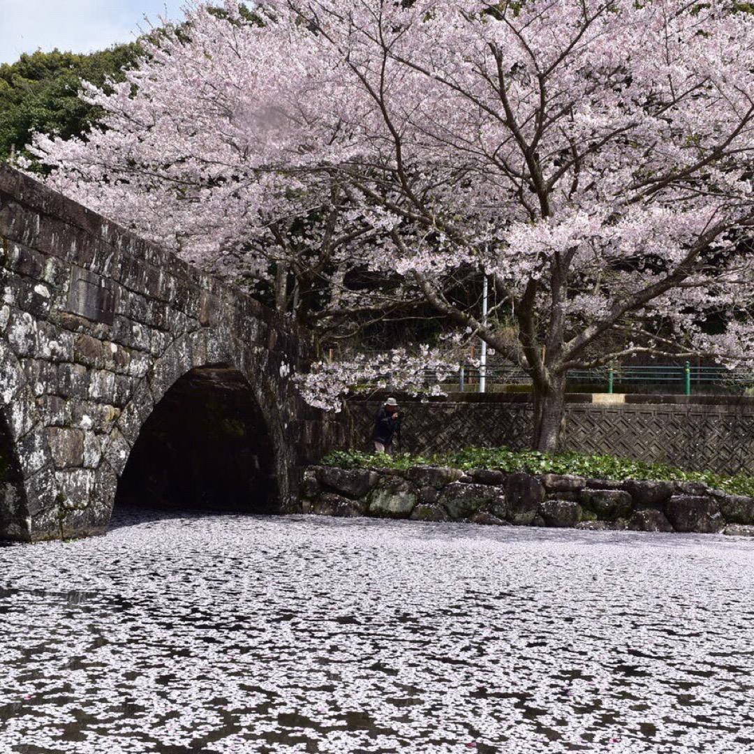 稗ノ尾河川公園  桜が咲き誇る時期は池が花びらで満開になります。 ...