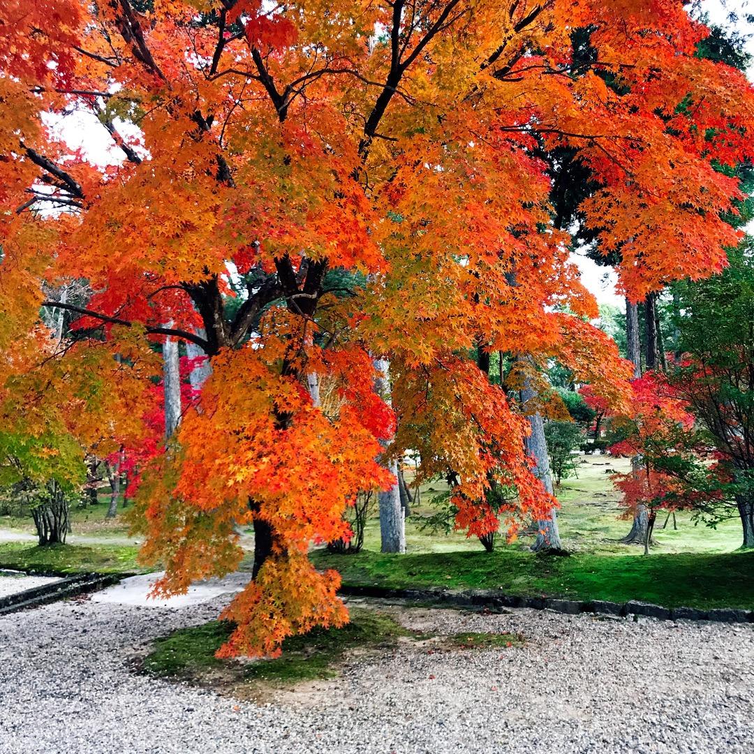 仁和寺にある大きな紅葉の木がとてもいい色になっていました!枯山水の...