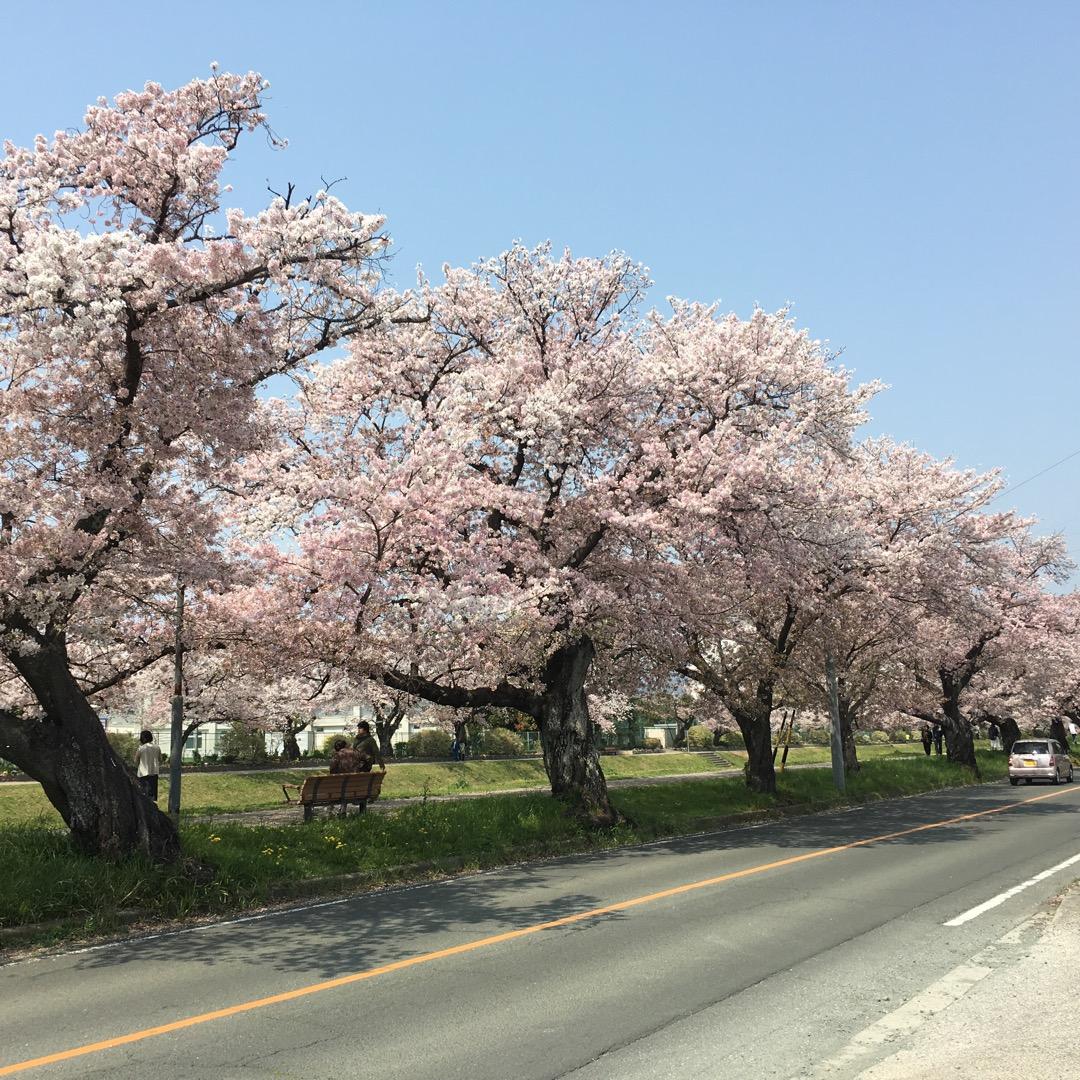 今年の佐奈川の桜並木🎵徒歩で見ると圧巻です。近くにイオンもあるので...