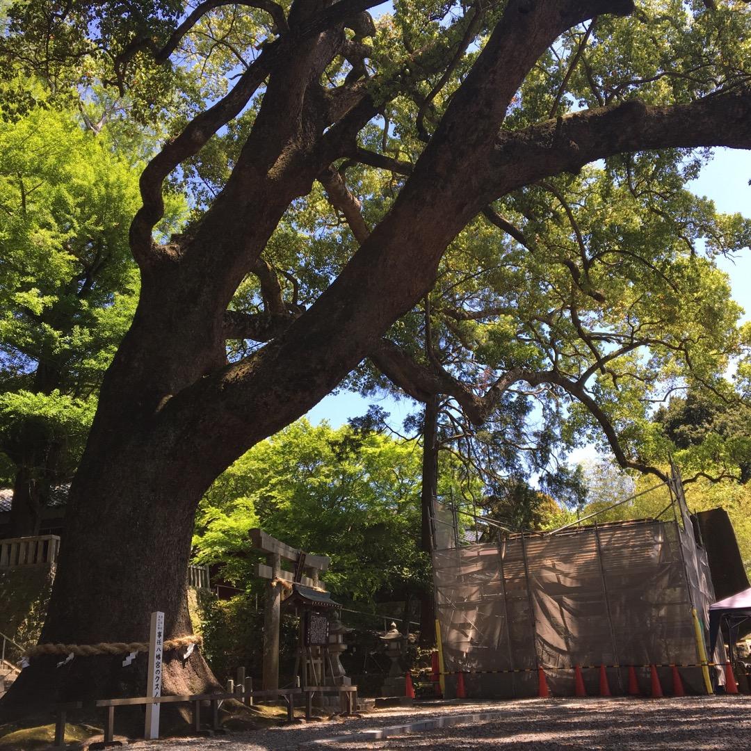 大きなご神木がある事任八幡宮。神社の名前の通り、ことのまま願いが叶...