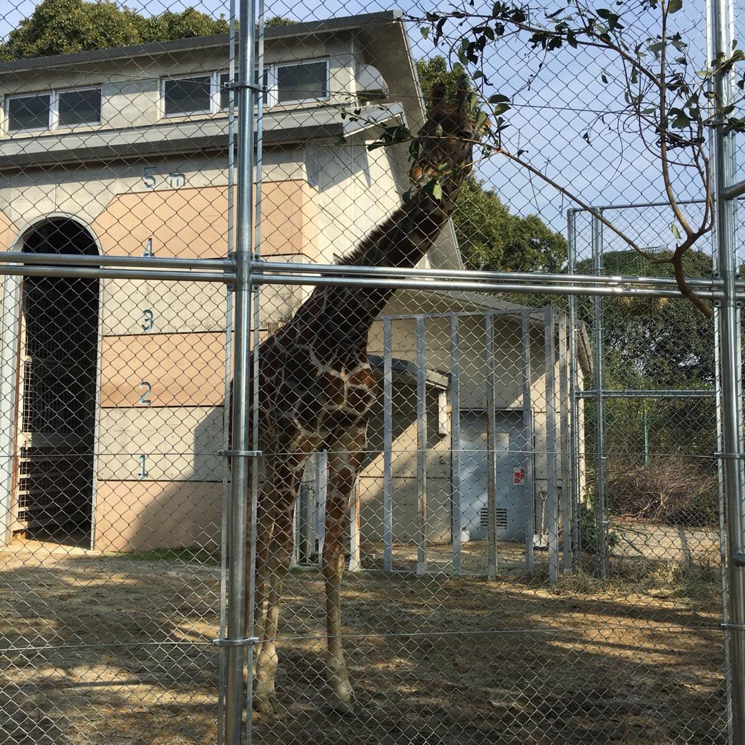 大牟田動物園のキリンさんです。この動物園はとにかく入場料が安いので...