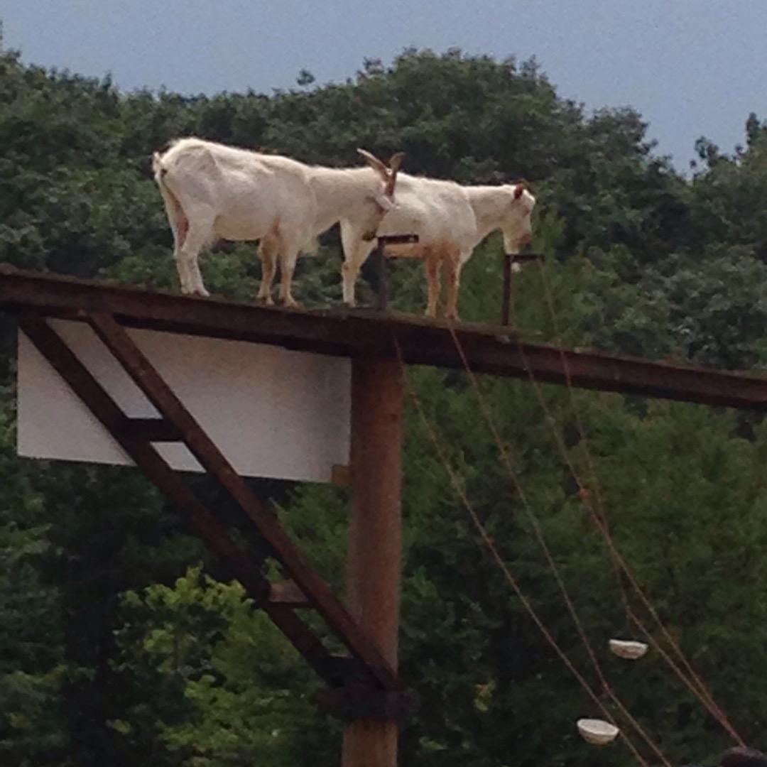 りんどう湖ファミリー牧場のヤギ達です。 高いところに登って下を見下...