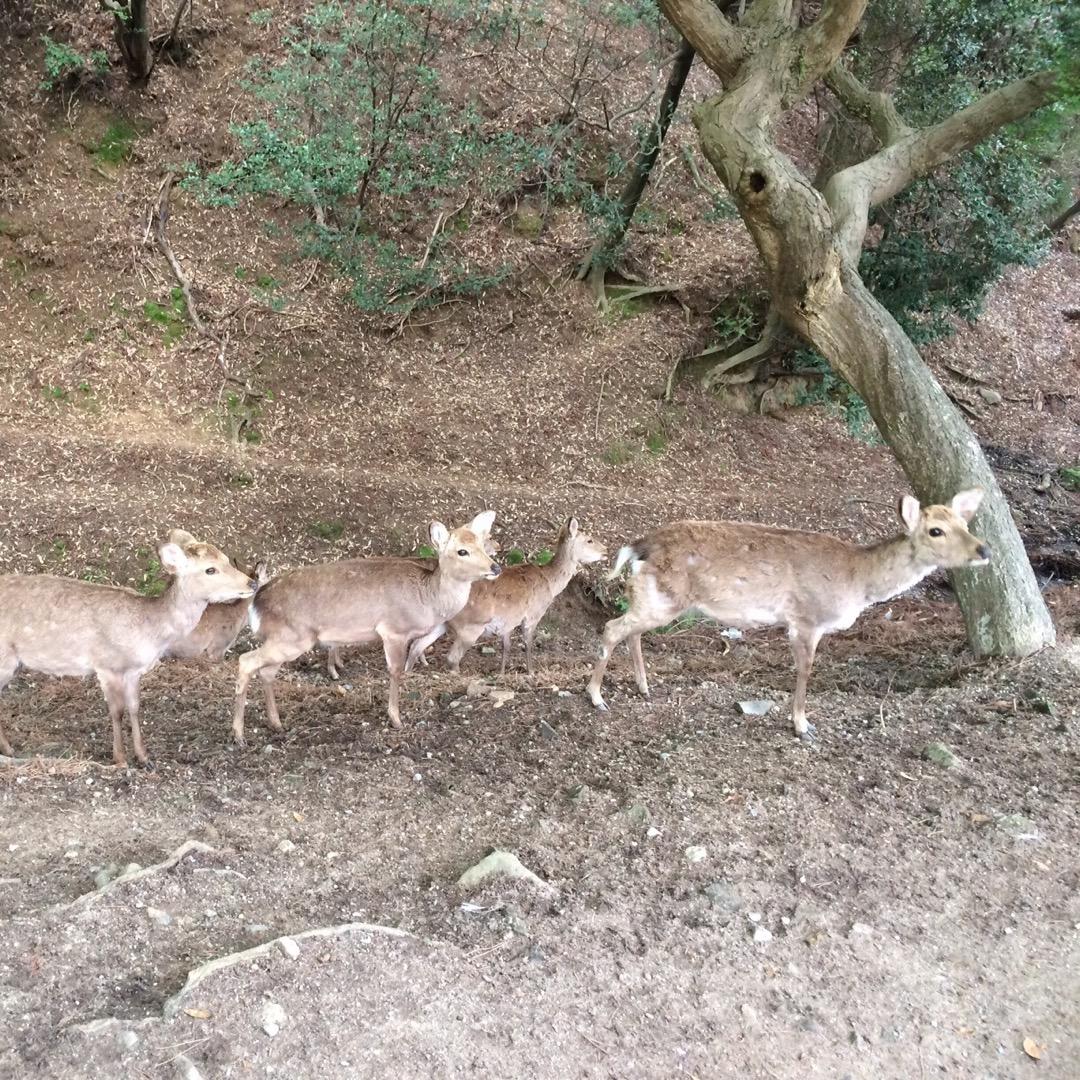 奈良と言えば、やっぱり奈良公園のシカ。 時期によって角ありや子鹿、...