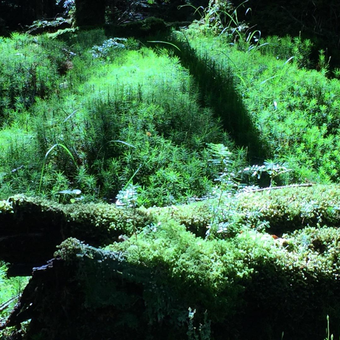 苔の森と言われている白駒池付近です。まるで映画の中に出でくるコトダ...