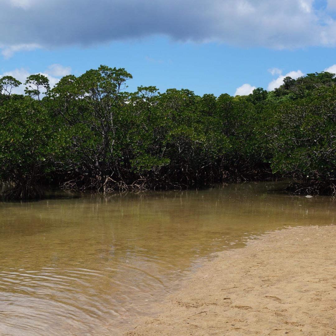 吹通川のヒルギ群落に立ち寄ってみました。不思議な根のマングローブを...
