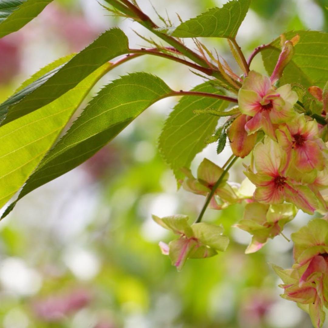 塩竈神社は沢山の種類の桜が咲きますが、中には緑色の桜も!華やかさは...
