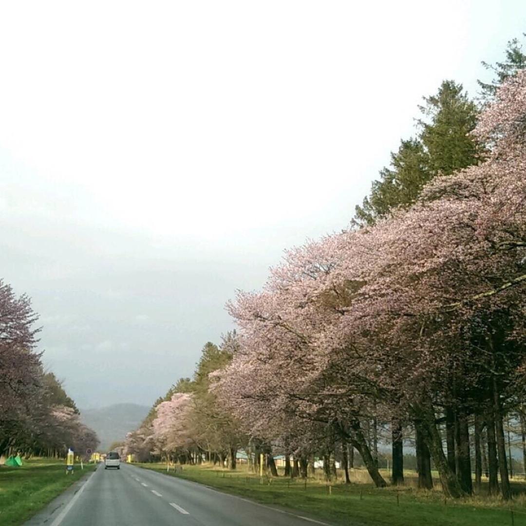 静内の二十間道路桜並木に来ました(*^^*) 桜が大好きで結構いろ...
