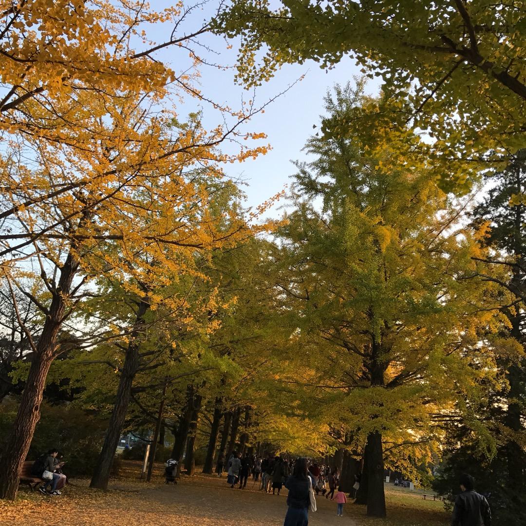 昭和記念公園のイチョウ並木はこんなに素晴らしい! 日曜日ということ...