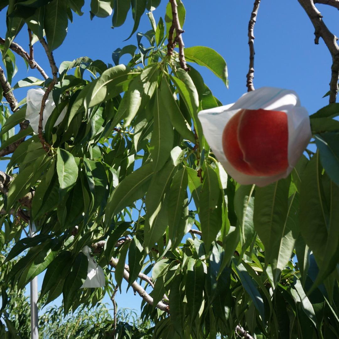 桃狩り〜。食べるの楽しみ✨  #桃狩り#みはらしの千果園#山梨#勝沼