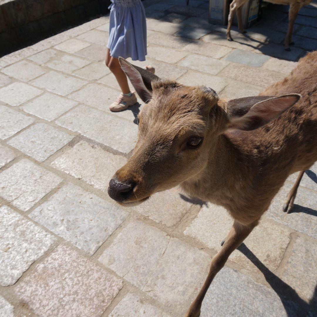 娘が会いたがっていた奈良の鹿。鹿せんべいへのがっつき方がハンパない...