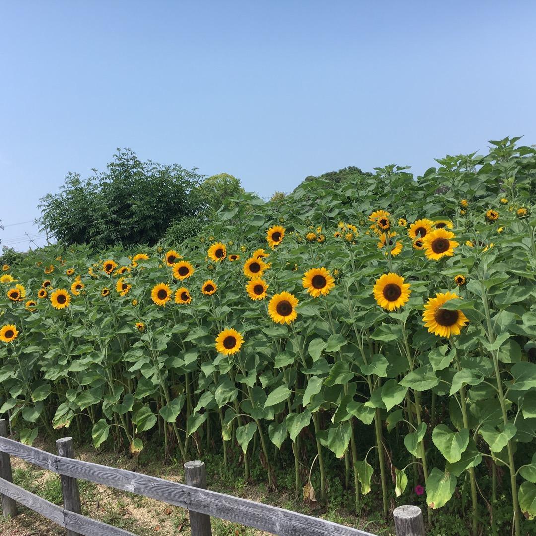 田辺市の新庄公園の一角のひまわり🌻 この公園めっちゃ広くて1日居て...