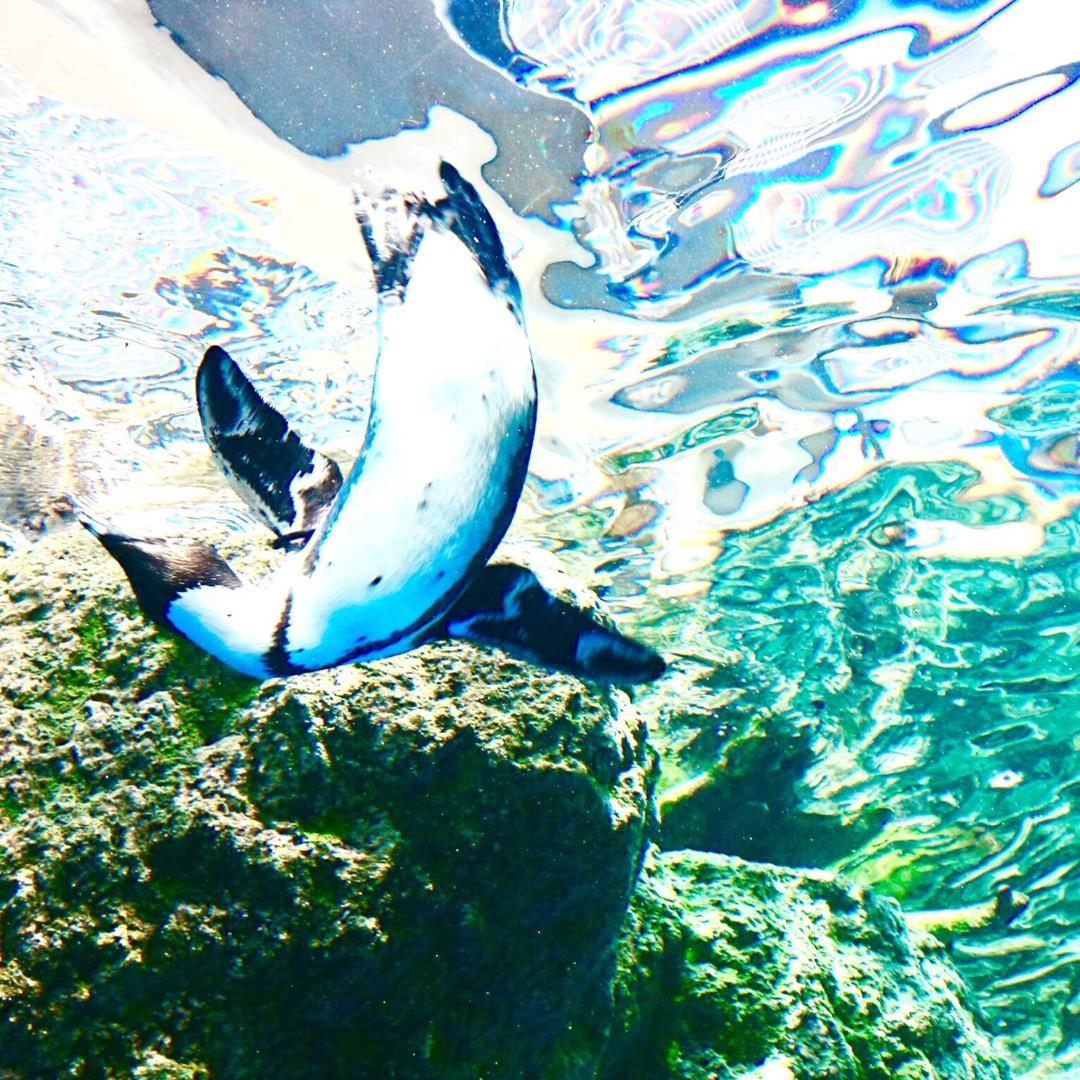 気持ち良さそうに優雅に泳ぐペンギン🐧  #京都 #京都水族館 #水...