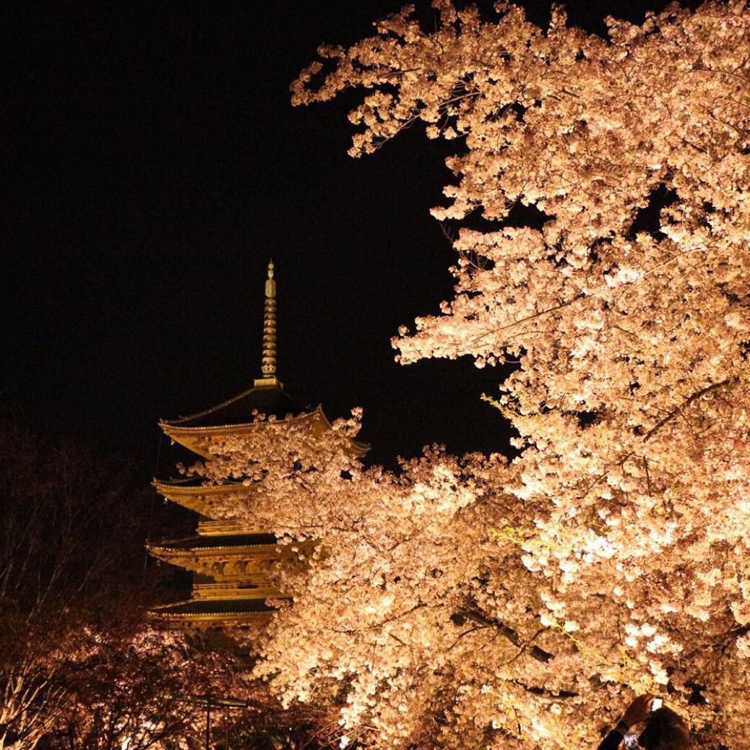 #東寺  桜の季節に行くとさらに素敵な東寺。 夜桜見物にはもってこ...