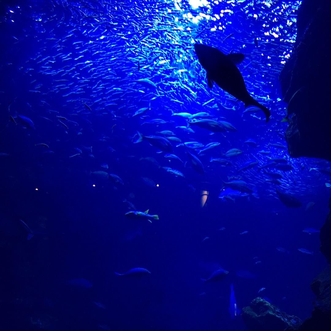 京都水族館の大型水槽🎵 幻想的なくらいゆったり泳ぐ魚たち  値段的...