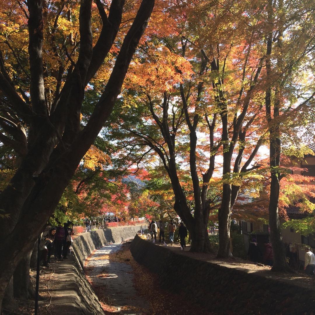 河口湖紅葉まつりの「もみじ回廊」。今回は緑多めだったけど、それもま...