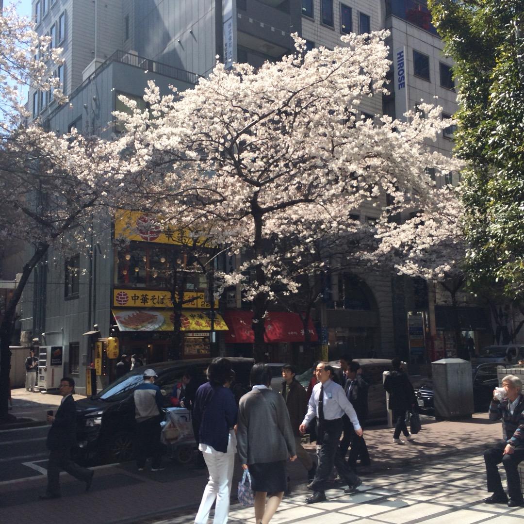 【さくら通り】 日本橋のオフィス街にある桜並木です。 毎年桜の時期...